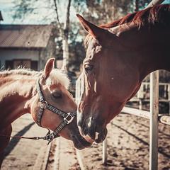 Love (MiuMiuKitty) Tags: autumn wild horses horse nature animal animals happy russia wildlife naturalbeauty naturesbest horselover      myhorse wildnature  horseworld  horselife naturebest ilobsterit horsesworld horseslife