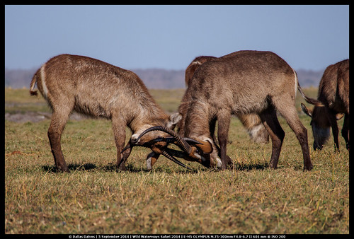 Waterbuck Battles