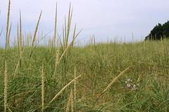 beach grass (InnAtElmwood) Tags: beach grass lakemichigan pentaxkr kr pentax innatelmwood geotagged flickrgeotaggers