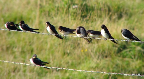 Barn Swallows - Braunton Marsh