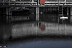 Sleepy Swan (Ukelens) Tags: lake water canon switzerland swan bath mood swiss sleepy bern openair ukelens