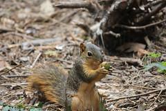 Squirrels at the University of Michigan (September 12, 2014) (cseeman) Tags: squirrels annarbor michigan animal campus universityofmichigan umsquirrels09122014 summer eating peanut acorn juggling squirreljuggling septemberumsquirrel gobluesquirrels