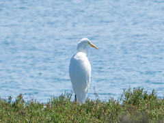 P2380517.jpg  Great Egret (Ardea alba) (ldjaffe) Tags: mosslanding greategrets northjettyrd