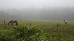 foggy morning at the farm (roytsaplinjr) Tags: horses fog farm foggy pasture grazing adirondack essexcountyny minervany