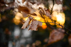 Winter morning (balu51) Tags: morgenspaziergang morgen sonnenaufgang waldrand buche blatt laub vertrocknet braun gelb orange schwarz 60mm bokeh backlight sunrise morning wintermorning leaf branch brown black yellow golden februar 2017 copyrightbybalu51