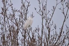 Snow among the Willows (McGill's Nature in Motion) Tags: snowyowl owl raptor predator bird nature wildlife michigan winter mcgillsnatureinmotion teresamcgill