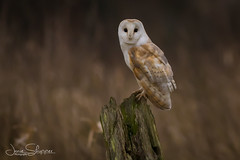 Low-Light Barn Owl (jammo s) Tags: barnowl owl wildbarnowl wildowl birdofprey bird dullday post nature barny wildlife norfolkbarnowls lightroom canoneos80d canonef400mmf56lusm