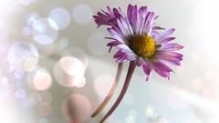A flower for Skay in the sky <3 <3 <3 (Isa****) Tags: fleur flower bokeh skay memory smileonsatuday lessismore