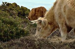 HIGHLAND CATTLE (New Forest, Hampshire) (DESPITE STRAIGHT LINES) Tags: heilancoo highlandcow highlandcows kyloe cow cattle heilancoosinthenewforest highlandcattleinbrockenhurst horns day cloud landscape nikon d7000 nikond7000 nikon18105mm nikkor18105mm boghaidhealach brindled fur grass field pasture farm farming hoof hooves dof photo photography frame raw image animal thenewforest newforest newforesthampshire thenewforestinhampshire brockenhurst hampshire england countryside rural getty gettyimages gettyimagesesp despitestraightlinesatgettyimages paulwilliams paulwilliamsatgettyimages ilobsterit