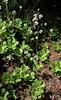 Saxifraga cuneifolia (Spoon-leaved Saxifrage) (Hugh Knott) Tags: flora zermatt switzerland valais saxifraga saxifrage saxifragacuneifolia spoonleavedsaxifrage helvetica