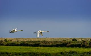 Mute Swans in Flight.
