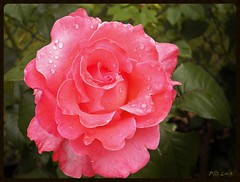 Oh come look at me... (MissyPenny) Tags: pink flower rose garden raindrops peachy peachypink bristolpennsylvania pdlaich missypenny