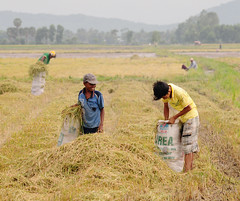 182916698_ The boys harvesting rice on the field (phuong.sg@gmail.com) Tags: boy food brown strange field animal asian mouse mammal grey rodent wooden rat aluminum asia close rice skin grunge tail central dirty meat vietnam mice eat domestic disgusting ready catch oily weathered grilled trap pest indochina phuot