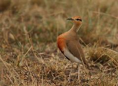 Dance the night away! (Rainbirder) Tags: kenya maasaimara temminckscourser cursoriustemminckii rainbirder