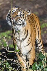 Tigress and branch (Tambako the Jaguar) Tags: wood wild portrait plant female cat germany zoo big nikon funny branch stuttgart tiger sunny vegetation marking tigress sumatran wilhelma smelling d4