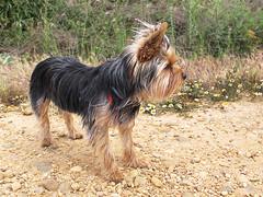 """Dorys ...........la preciosa perrita """"Yorkshire Terrier"""" de la qdd (jacilluch) Tags: dog pet perro yorkshireterrier"""
