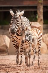 2014-05-08-11h46m02.272P9073 (A.J. Haverkamp) Tags: valencia zoo spain spanje dierentuin grantszebra bioparc equusburchelliboehmi canonef14xiiextender canonef500mmf4lisiiusmlens httpwwwbioparcvalenciaes