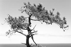 Pinus torreyana (Polylepis) Tags: pinustorreyana torreypinesstatereserve sandiego torreypines tree endemic california blackandwhite monochrome sonnar55fe landscape bw mono sonnar5518za zeiss zeiss5518 sony sony5518 5518za