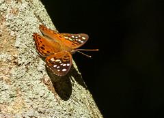 Hackberry Emperor (sjsimmons68) Tags: animals butterfly hackberryemperor insectsandspiders centralwindspark fllocations