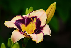 Day Lily - Hartselle, Alabama - 2014 (deanrr) Tags: flower spring lily blossom bokeh alabama daylily bloom 2014 hartsellealabama