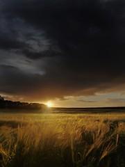 Strands of Gold (Amble180) Tags: wild lumix panasonic northumberland about g3 1442 widdrington