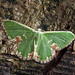 70.300  BF1667 Blotched Emerald, Comibaena bajularia