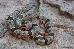 Banded Rock Rattlesnake (DevinBergquist) Tags: arizona mountains nature snake wildlife rattlesnake crotalus fieldherping bandedrockrattlesnake herping chiricahuamountains