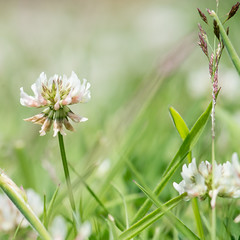 White clover (gilliesavo) Tags: white macro beauty june meadow clover