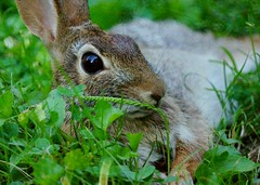 175/365: Lazy bunny (Stephen Little) Tags: rabbit mirror reflex hare mirrored animalia mammalia jackrabbit easterncottontail sylvilagusfloridanus chordata catadioptric lagomorpha leporidae sylvilagus minoltaaf500mm minolta500mmf8 minoltaaf500mmf8 sonya77 minolta500mm sfloridanus jstephenlittlejr slta77 sonyslta77 sonyslta77v sonyalphaslta77v
