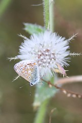 Common Blue (Polyommatus icarus), by Peter Alfrey