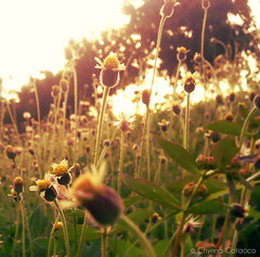 cameraphone flowers green nature yellow petals afternoon... (Photo: hailin.elle on Flickr)