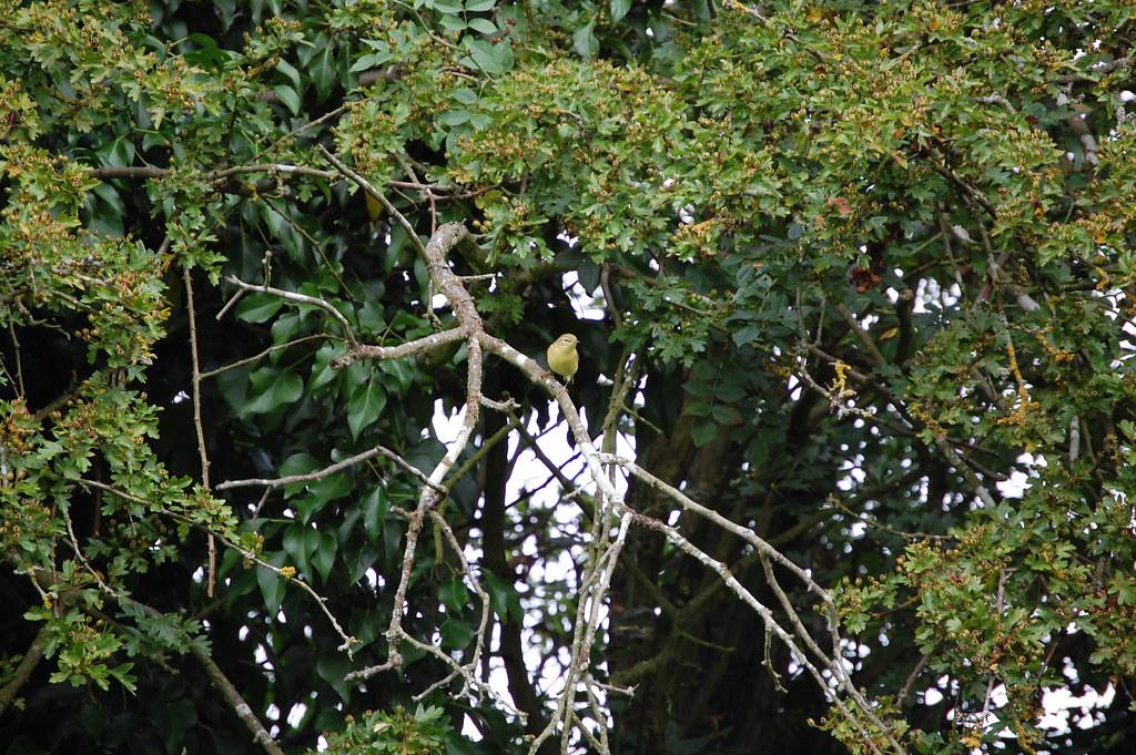 Whitnash Brook - Greenfinch