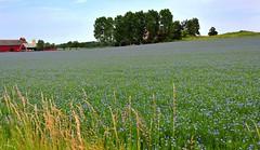Flax (nikkorglass) Tags: summer explore lin flax 1635vr
