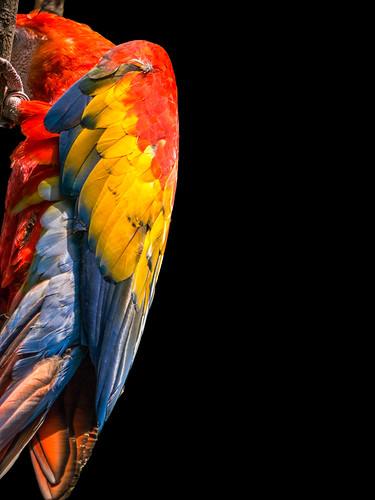 Shy Parrot