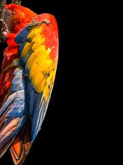 Shy Parrot (Referenceace - Working!) Tags: family ohio summer bird birds animals blackbackground zoo cincinnati july parrot shy hiding lowkey attraction 2014 cincinnatizoo mirrorless
