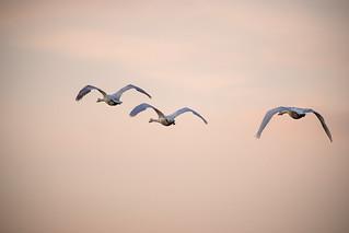 Le vol des cygnes