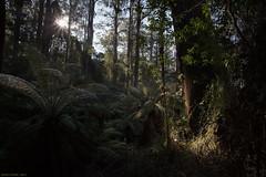 Morning (Ranga 1) Tags: morning forest canon landscape rainforest australian australia melbourne victoria jungle ferns australianlandscape mtdandenong sassafras morningsun eucalypts gully dandenongs dandenongranges kallista ferngully gumtrees davidyoung temperaterainforest australianbush eucalyptustrees thedandenongs ef1740mmf4lusm sassafrascreek canoneos5dmarkiii sassafrascreekroad