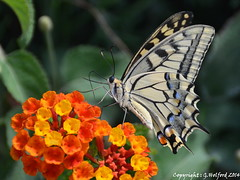 Corfiot Butterfly I (Holfo) Tags: nature butterfly insect greek islands wings nikon mediterranean outdoor wildlife greece greekislands corfu stefanos ionian sanstephanos antenae ionianislands aghiosstephanos d5100