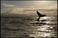 humpback whales ((((vixpen)))) Tags: new wales bay south australia brunswick bryan heads whale humpback spencer byron