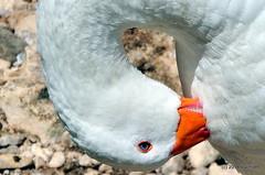 DSC_0308-001 (rachidH) Tags: sea lake birds geese mediterranean hellas ducks goose greece waterfowl kefalonia canard oiseaux muscovy oie karavomylos rachidh melissany