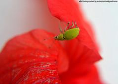 Chinche en marpacfico (The Art of Sainz) Tags: verde planta hoja animal rojo natural insecto