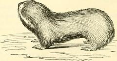 Anglų lietuvių žodynas. Žodis genus spalax reiškia genties spalax lietuviškai.