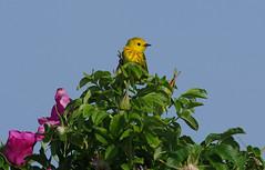 Bird on a Rose - Yellow Warbler (Natimages) Tags: blue summer sky green bird nature rose yellow bush pentax birding bluesky marsh rosebush k5 da3004