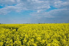 Rapeseed (Alexander.Hls) Tags: schleswigholstein rapeseed nature sky