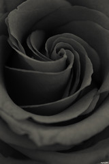rose (Hard*Core*Bunny) Tags: bw flower rose atmospheric gentle