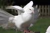 Dove (D R Swift) Tags: dove wirral neston whitedove