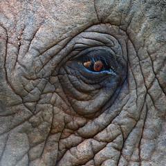 Have A Close Eye On Our Future ! (AnyMotion) Tags: africa travel eye nature animal animals closeup square southafrica tiere reisen wildlife ngc afrika auge nahaufnahme africanelephant 2014 loxodontaafricana anymotion afrikanischerelefant 1280x1280 canoneos5dmarkii 5d2 karongwegamereserve worldelephantday