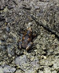 #210 Elegant Narrow-mouthed Toad (bsmity13) Tags: road trip color animal beige belize gray amphibian places frog infrastructure dirtroad 365 habitat herp centralamerica vertebrate lamanai anthropogenic microhylid narrowmouthedtoad elegantnarrowmouthedtoad gastrophryneelegans