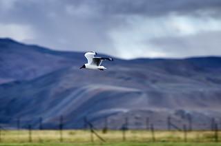 Brown Headed Gull of Tso Moriri