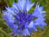 "Blaue Blume. Blou Blom. The romantic ""blue flower"", the  blue Cornflower, blaue Kornblume, (Centaurea cyanus). Fiore azzurro.  Flor azul . On Explore, 2014-08-17 , #187. (eagle1effi) Tags: crop blaue blume panasoniclumixdmctz41 panasonic dmctz41 travelerzoom travelzoom reisezoom travellerzoom tz41 tz40 zs30 tz41top flower macro nature fwtü freie waldorfschule tübingen flora waldhäuserost city stadt tubinga tuebingen tubingen tubingue dibenga germany deutschland badenwuerttemberg württemberg stadttübingen tübingenamneckar kornblume centaureacyanus fotopedia photopedia erklärbär effinger bemerkungen storyabout romantik romantic romanticism blou blom fioreazzurro florazul dieblaueblume views1000 views500 views2000 views1500 views5000 ae1fave ae1faves 100faves onexplore 20140817 187 views15000 views10000 waldhausen nordstadttübingen"
